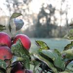 Apfelbaum Nahaufnahme Ausschnitt 567245_640