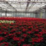 Weihnachtssterne 210023_640